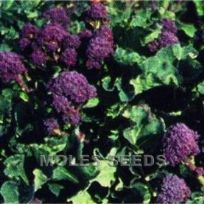 Broccoli Purple Sprouting Red Arrow